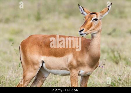 impala (Aepyceros melampus) adult female standing in short grass, Kenya, Africa - Stock Photo