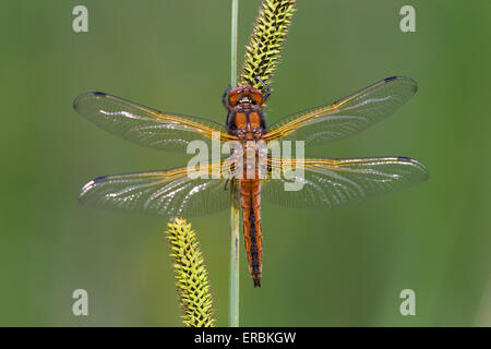 Scarce chaser Libellula fulva, immature male, perched on common sedge, Wheatfen, Norfolk, UK in June. - Stock Photo