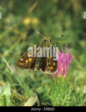 Silver-spotted Skipper - Hesperia comma - Stock Photo