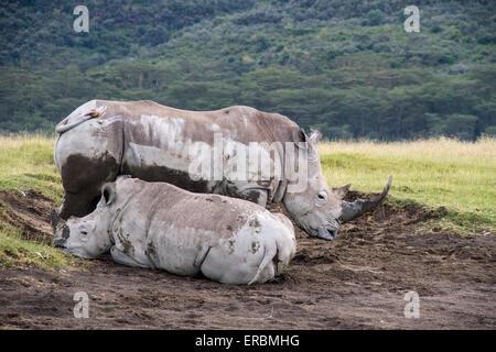 white rhinoceros or square-lipped rhinoceros (Ceratotherium simum),adult and calf in mud, Nakuru, Kenya, Africa - Stock Photo
