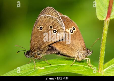 ringlet butterfly (Aphantopus hyperantus) pair mating while resting on leaf, England, United Kingdom - Stock Photo