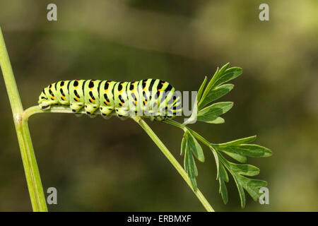 swallowtail butterfly (Papilio machaon) caterpillar (larva) feeding on milk parsley, Norfolk Broads, England, United - Stock Photo