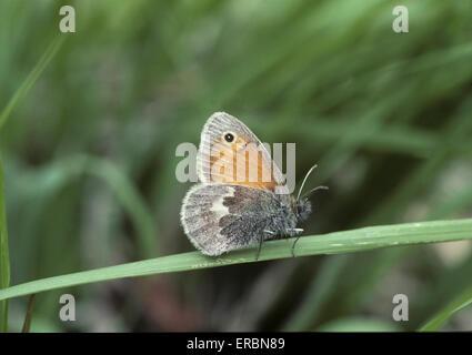 Small Heath - Coenonympha pamphilus - Stock Photo