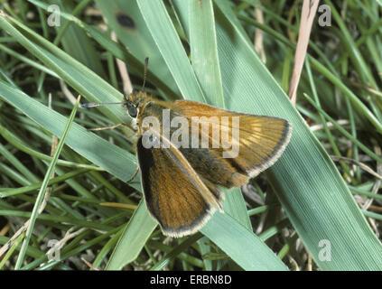 Lulworth Skipper - Thymelicus acteon - Stock Photo