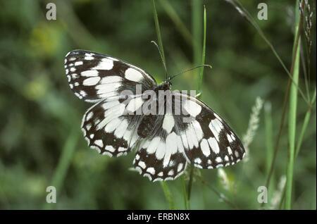 Marbled White - Melanargia galathea - Stock Photo