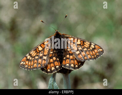 Marsh Fritillary - Euphydryas aurinia - Stock Photo