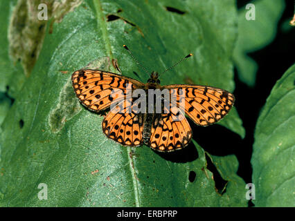 Small Pearl-bordered Fritillary - Boloria selene - Stock Photo