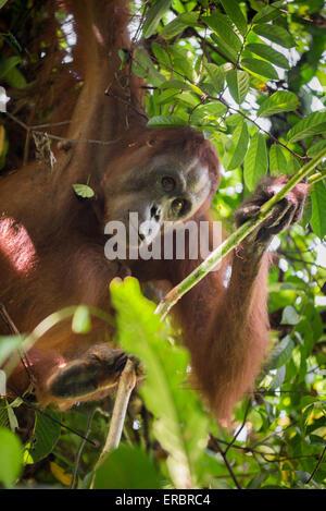 Adult female Eastern Bornean orangutan (Pongo pygmaeus morio) in Kutai National Park, Indonesia. © Reynold Sumayku - Stock Photo