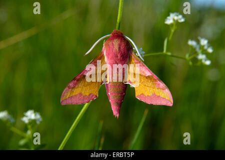 Small Elephant Hawk-moth - Deilephila porcellus - Stock Photo