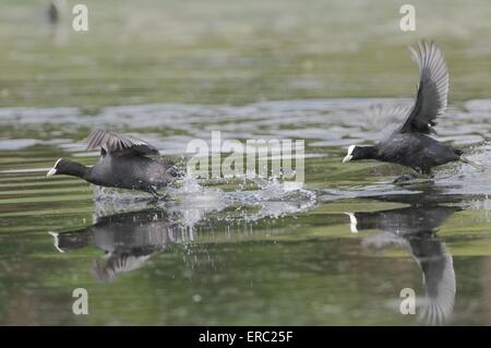 black coots - Stock Photo
