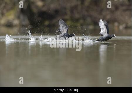 Eurasian black coots - Stock Photo