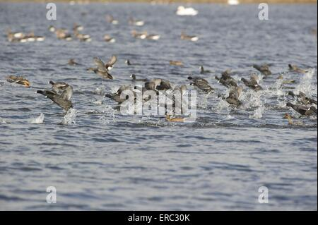 Eurasian black coots - Stock Photo