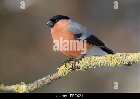 Eurasian bullfinch - Stock Photo