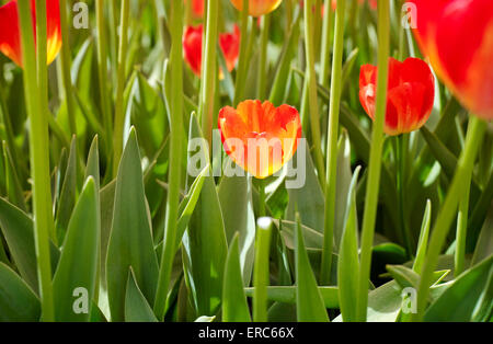 Dutch tulips. Field with tulips in the Netherlands. - Stock Photo