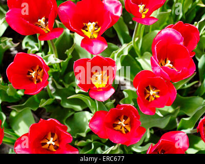 Dutch tulips. Red tulips in the Netherlands. - Stock Photo