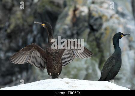common shag - Stock Photo