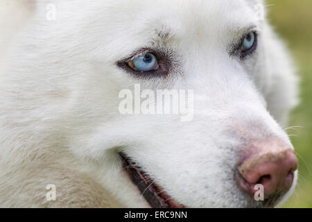 Close-up shot of husky dogs blue eyes. Beautiful white siberian husky dog portrait - Stock Photo