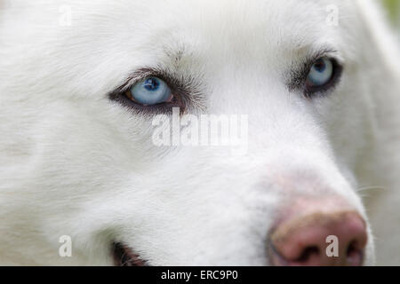 Close-up shot of husky dogs blue eyes. Beautiful white siberian husky dog portrait - Stock Photo