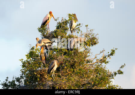 Yellow-billed stork (Mycteria ibis), breeding colony, sitting in a tree, South Luangwa National Park, Zambia - Stock Photo