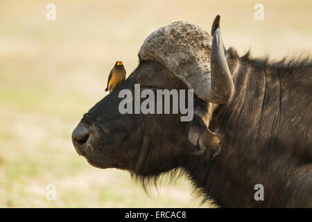 Cape Buffalo (Syncerus caffer caffer), bull with Yellow-billed Oxpecker (Buphagus africanus), the oxpeckers are - Stock Photo