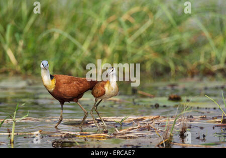 African Jacana (Actophilornis africanus), female with young in the shallow water at the bank of the Chobe River - Stock Photo