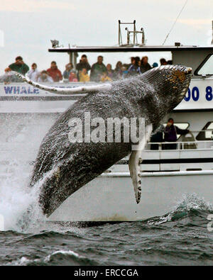 A humpback whale breaches in front of a tourist cruise boat in the Stellwagen Bank National Marine Sanctuary in - Stock Photo