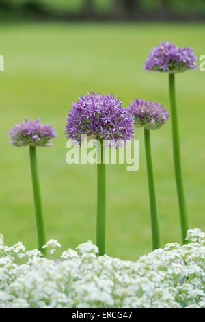 Allium globemaster flowers in an English garden - Stock Photo