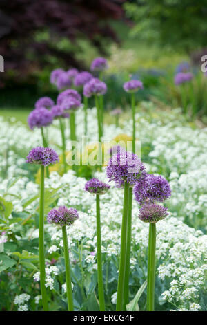 Allium globemaster flower in an English garden - Stock Photo
