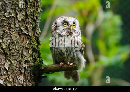boreal owl - Stock Photo