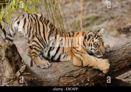 young tiger - Stock Photo