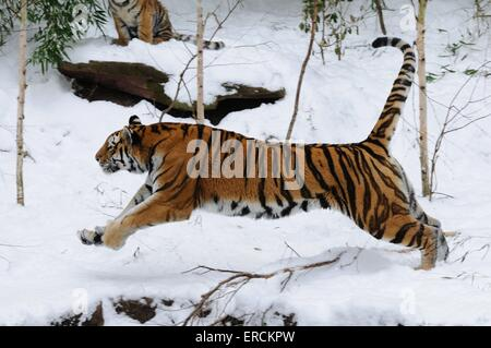 Siberian tiger - Stock Photo