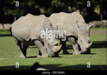 square-lipped rhinos - Stock Photo
