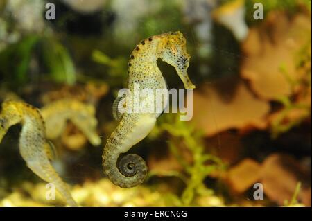 short snouted seahorse - Stock Photo