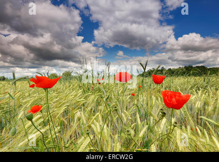 Poppies in wheat field with beautiful sky clouds - Stock Photo