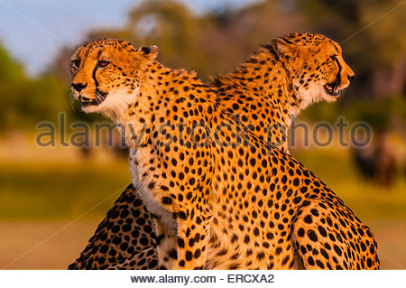Two cheetahs on a mound, near Kwara Camp, Okavango Delta, Botswana. - Stock Photo