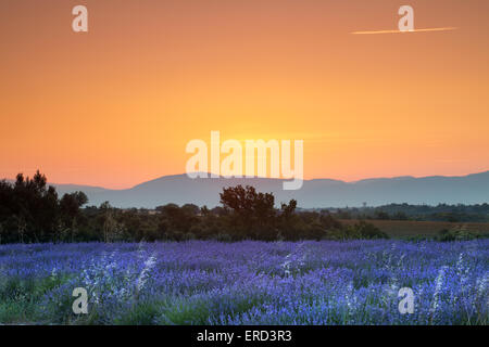 Sunrise over a summer lavender field in Provence, France - Stock Photo