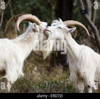 White billy goats - members of the small flock used to control vegetation and encourage biodiversity in Avon Gorge - Stock Photo