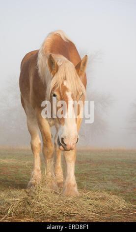 Belgian draft horse eating his morning hay in heavy fog - Stock Photo