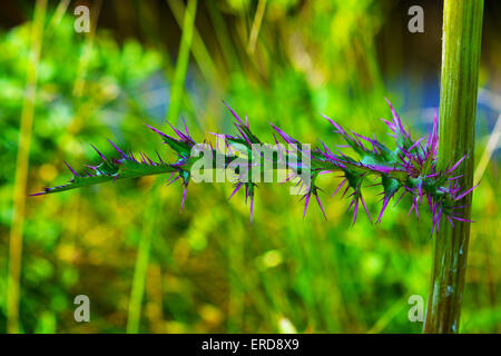 Thistle thorns portrait. Taken in Crystal River, Florida USA - Stock Photo