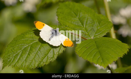 Male Orange Tip butterfly Anthocharis cardamines at rest on bramble leaf - Stock Photo