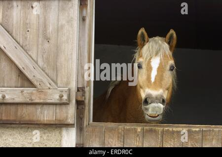 Haflinger in stable - Stock Photo