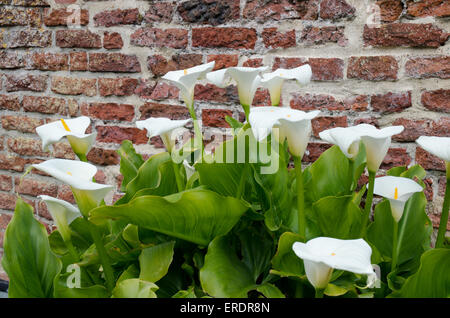 Spathiphyllum Peace Lily plants in the family Araceae, - Stock Photo