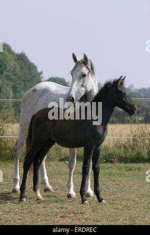 PRE mare with foal - Stock Photo