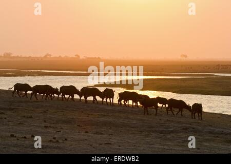 Cape Buffalos - Stock Photo