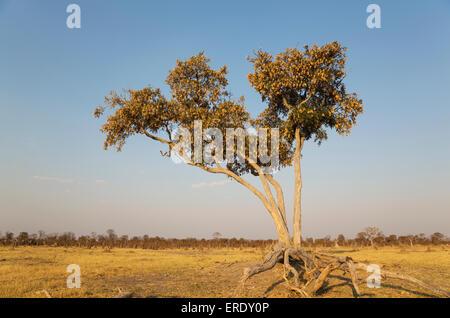 Apple-leaf tree (Lonchocarpus capassa), Savuti, Chobe National Park, Botswana - Stock Photo