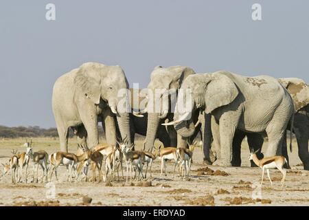 African Elephants and springboks - Stock Photo