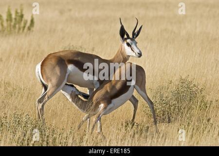 springbok with baby - Stock Photo