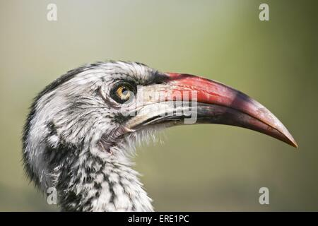 red-billed hornbill - Stock Photo