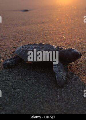 North Balantak, Indonesia. 01st June, 2015. Several Turtle Olive Ridley turtle hatching (olive ridley sea turtle) - Stock Photo