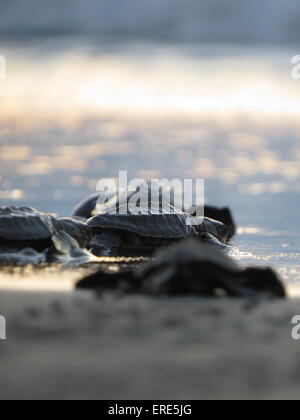 North Balantak, Indonesia. 31st May, 2015. Several Turtle Olive Ridley turtle hatching (olive ridley sea turtle) - Stock Photo
